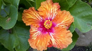 hawaii hibiscus (1)