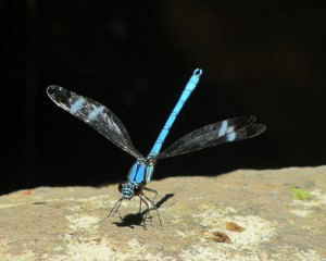 dragonfly in organic farming
